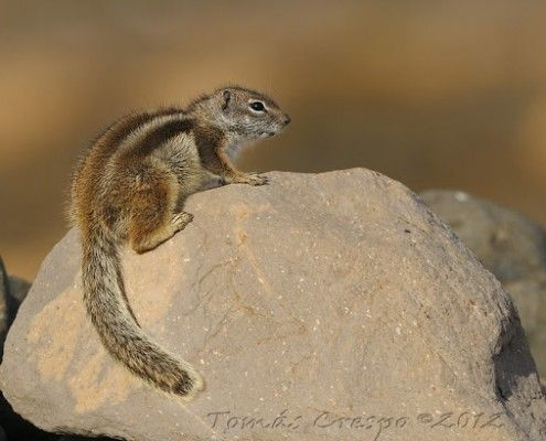 Ardilla moruna, Atlantoxerus getulus, Barbary Ground Squirrel