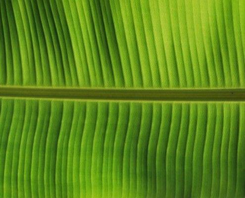 blad.banaan