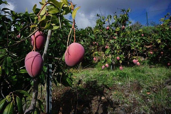 landbouw la palma mangas