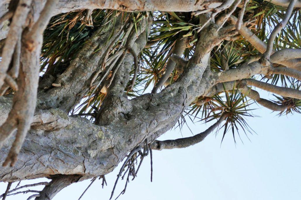 oude drakenbloedboom